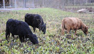 Kor kan rädda klimatet